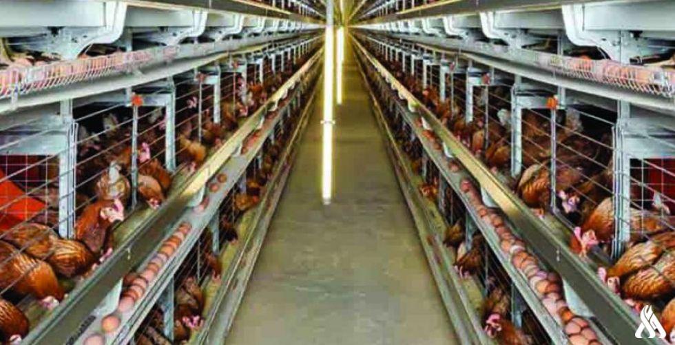 كربلاء تنتج أكثر من (94) مليون بيضة خلال النصف الأول من العام الحالي